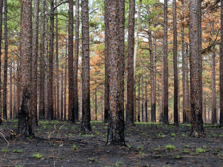 Longleaf Pine Ecosystems